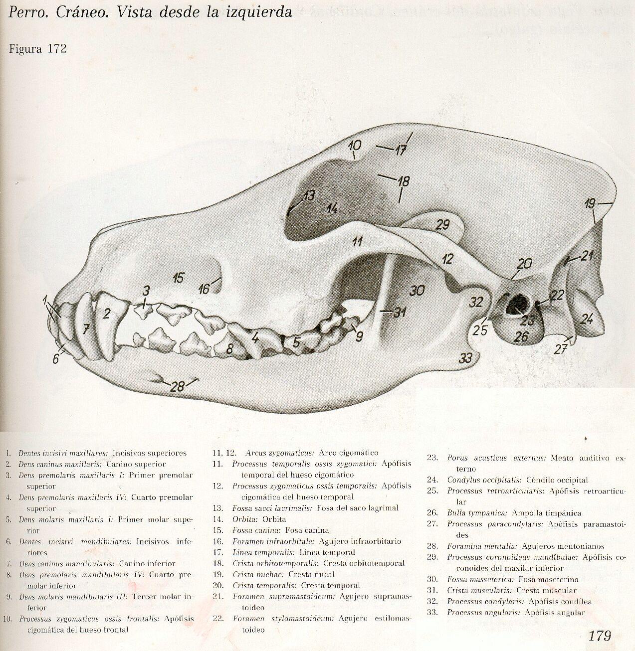Anatomia Veterinaria: Cráneo de caninos
