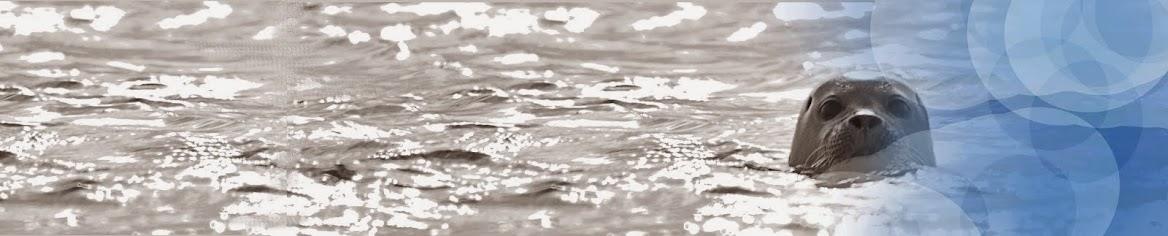 Phoque de la Baie de Somme