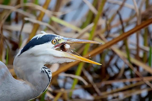 Tierfotos - Vögel - Graureiher mit Fisch