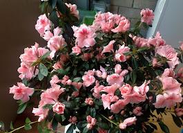 L'azalea della Seconda, in piena fioritura
