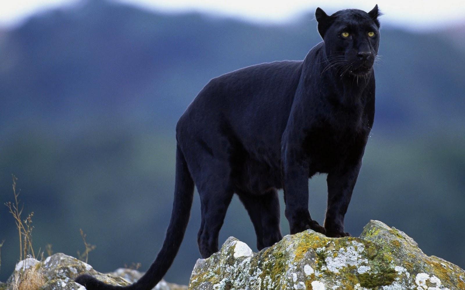 gambar macan - gambar macan