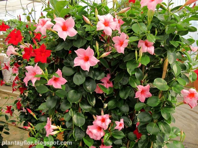 Plantas y flores mandevilla sanderi for Dipladenia sanderi