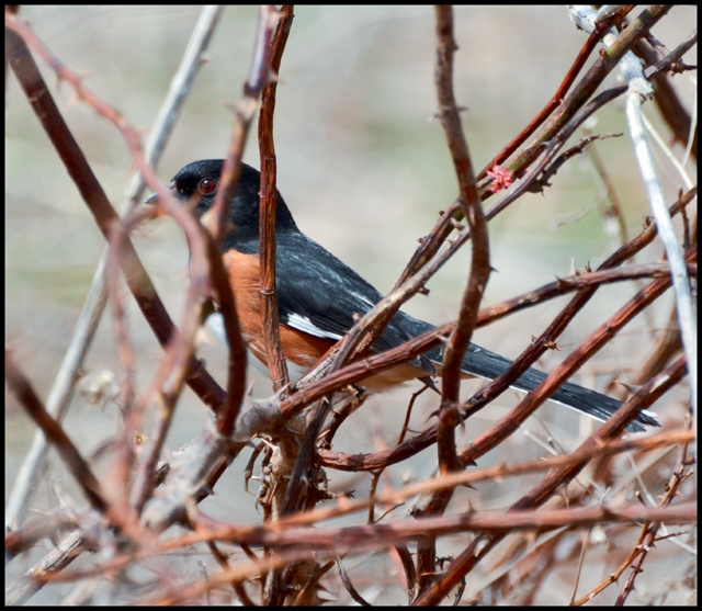 Eastern Towhee In A Thorny Mess