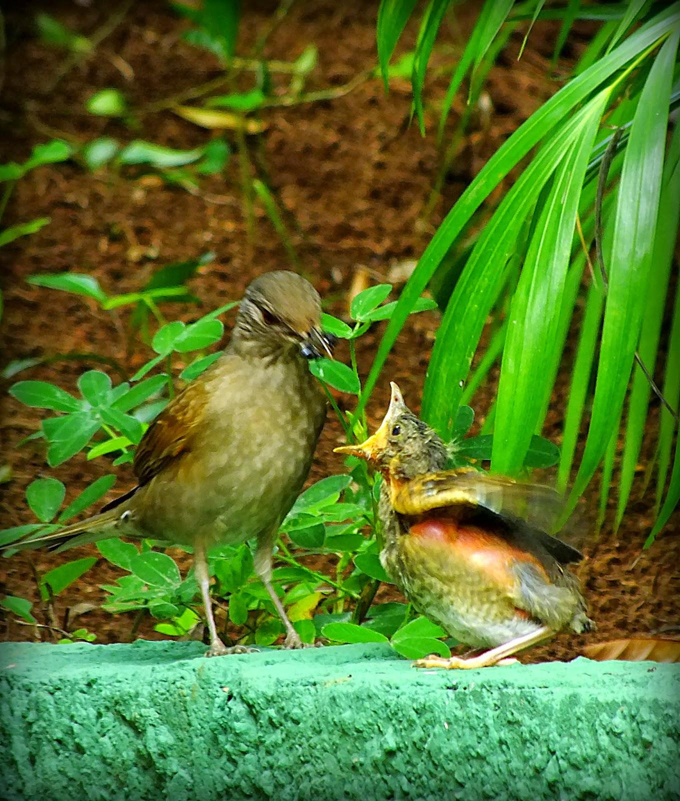 http://aprendendocomasimagens.blogspot.com/2013/10/o-despertar-de-um-sabia.html. Como é bom despertar com o cantarolar de um Sabiá. Como é bom contemplar o o desadormecer e compreender de uma Vida que nos tem a oferecer. Como é bom se encantar com a harmonia da Vida que nos faz sonhar. Sonhar com a humilde maneira de se aprender. Como é bom poder perceber e brindar com a essência de momentos de sentimentos que nos faz Viver...