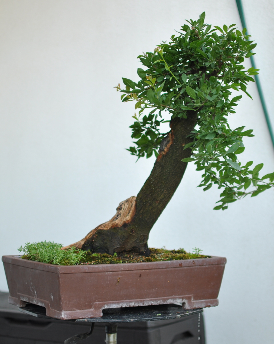 Maros Bonsai Blog Prunus Spinosa