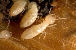 Termite Tenting Cost