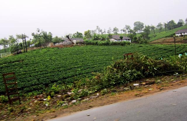 tea estate in Kerala India