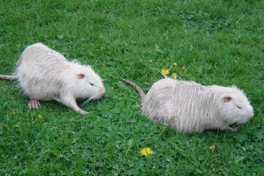 19. Albino Nutria by Andrew Curtis