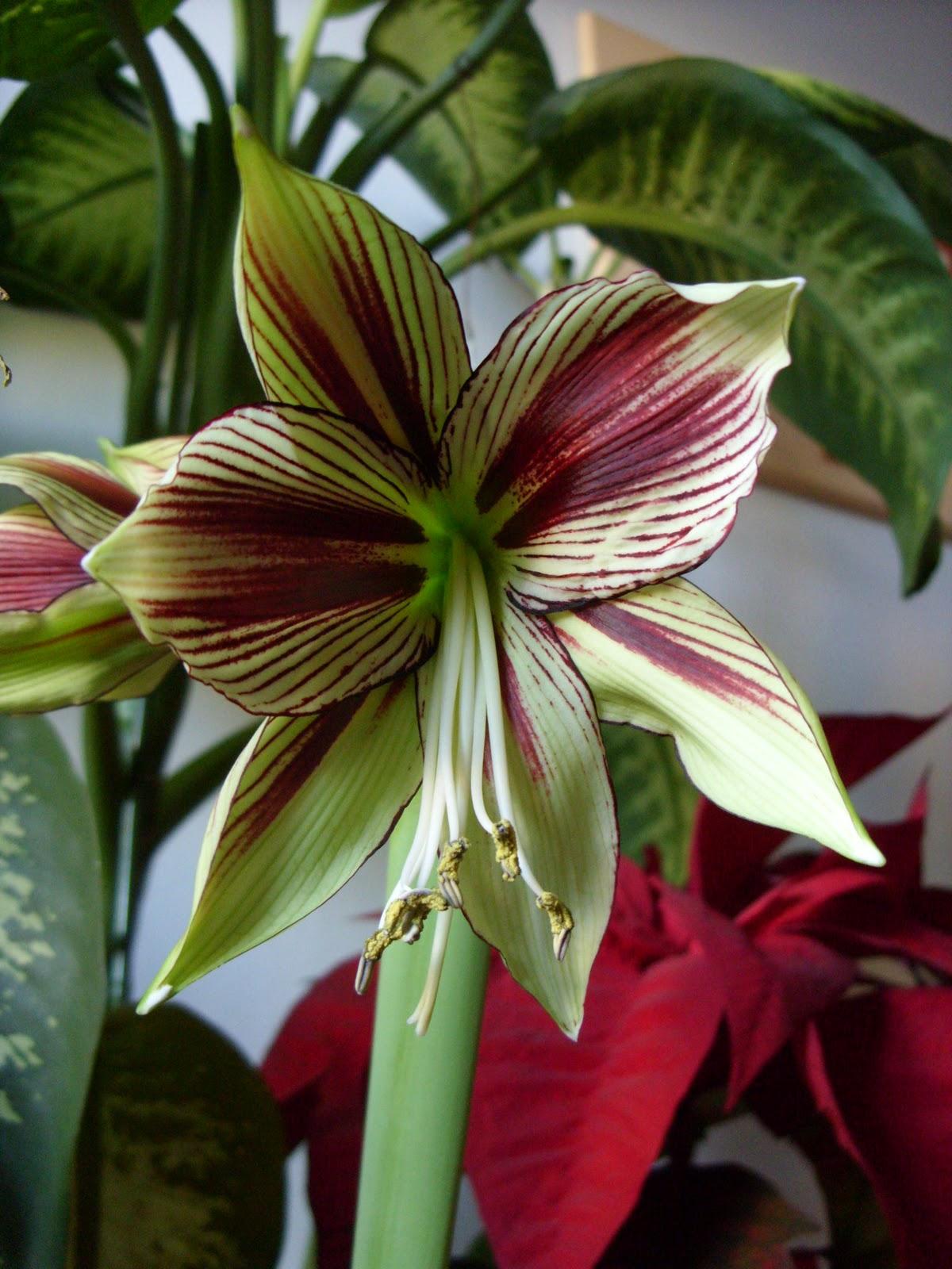 Hippeastrum cera una volta un bulbo hippeastrum papilio for Costo orchidea