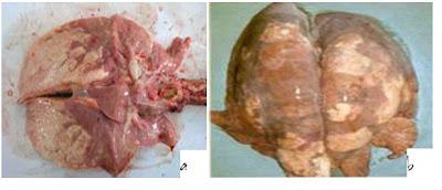 Hình 2.4. Bệnh tích nhục hóa đối xứng và viêm phổi dày đặc, cứng, nhạt màu. (a) Viêm phổi đối xứng; (b)Viêm phổi dày đặc, cứng, nhạt màu. (Nguồn: http://www.anova.com.vn)
