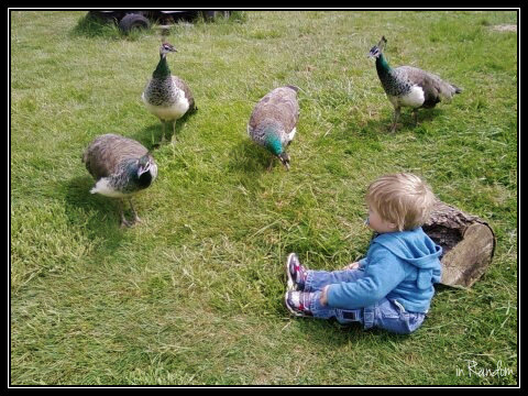 little boy with peacocks