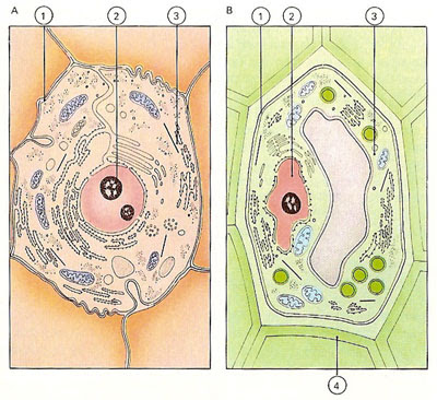 Cytoplasm in animal cell and plant cell - photo#24