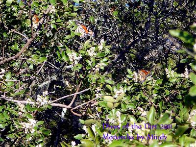 Divasofthedirt, mindy sumac w monarchs