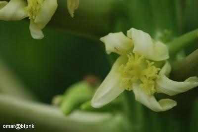 Bunga Betik