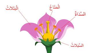 النباتات الزهرية
