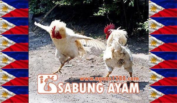 Sabung Taji, Acara Adu Ayam Sadis di Filipina