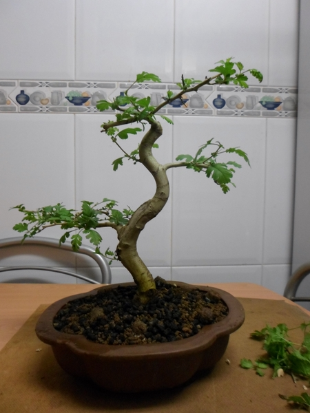 crataegus cuneata bonsai