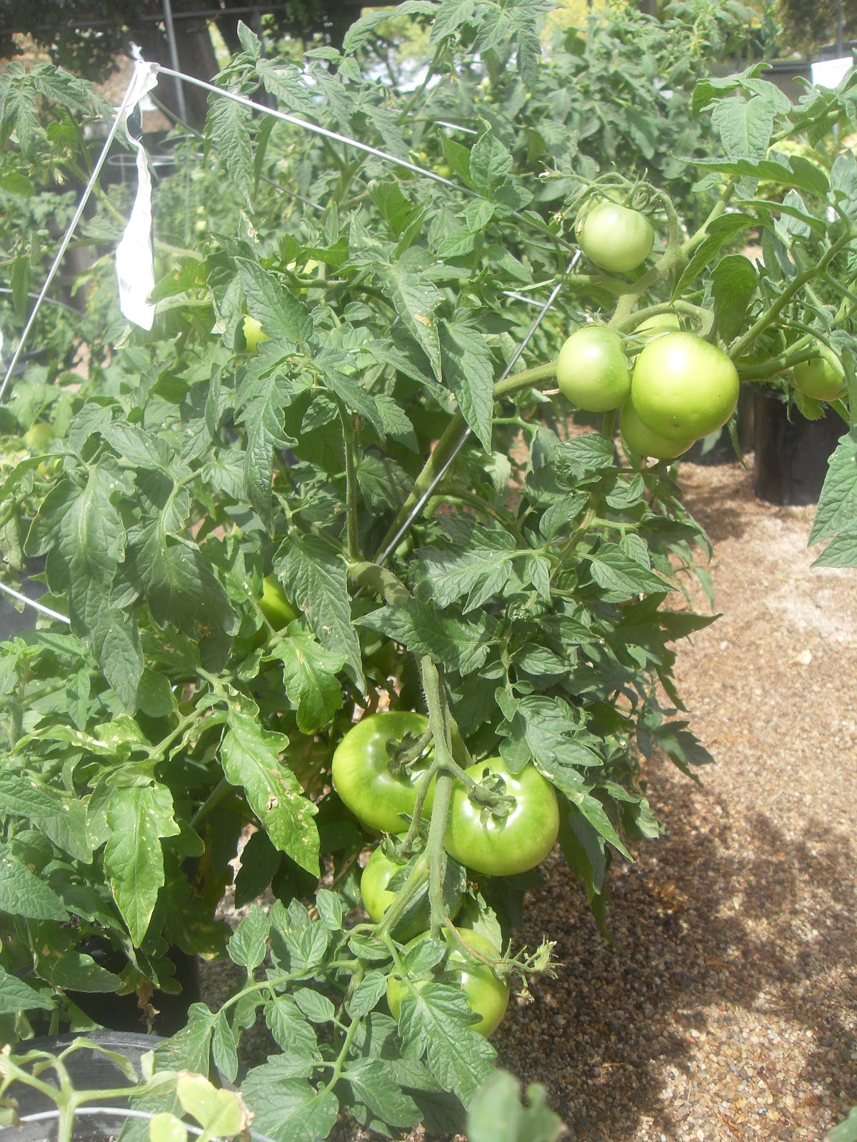Celebrity Tomato Seeds | Hybrid Tomato Seeds - Jung Seed