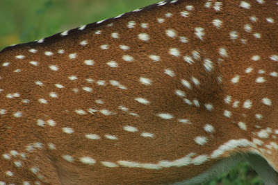 Spots of the spotted deer at K.Gudi, BRT tiger reserve, Karnataka