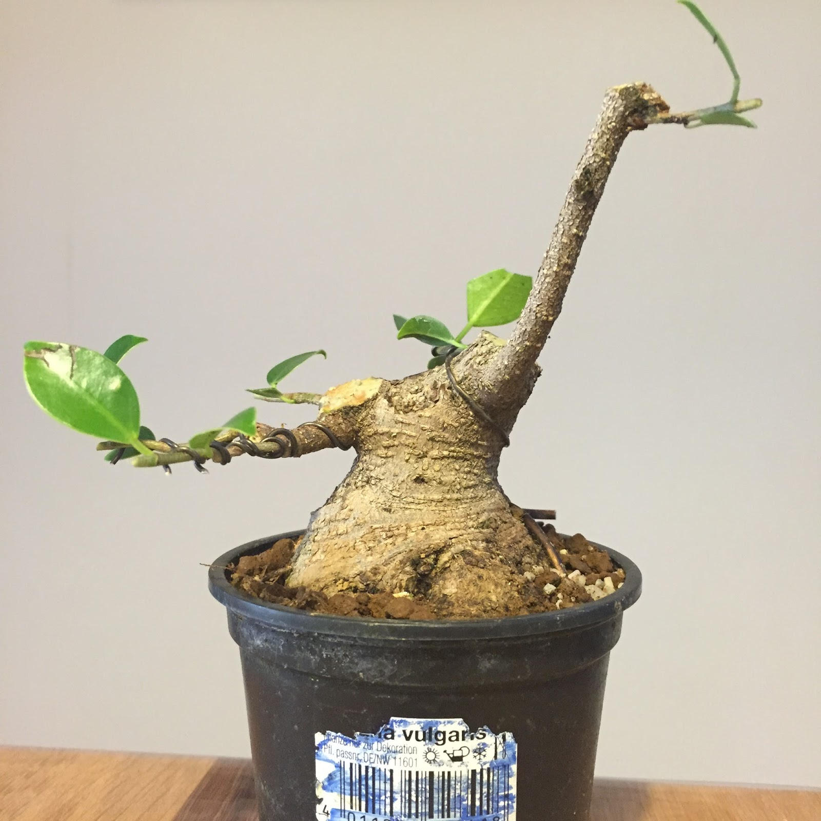 Shohin Y Mini Bonsai