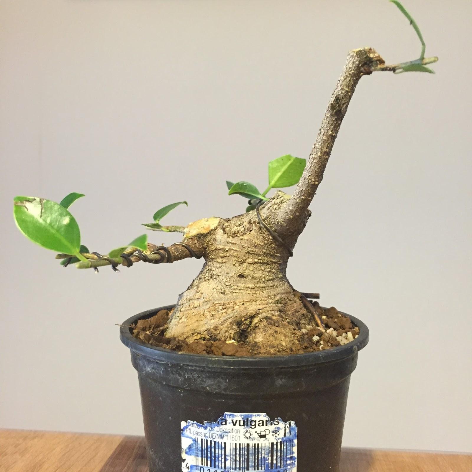Shohin Y Mini Bonsai