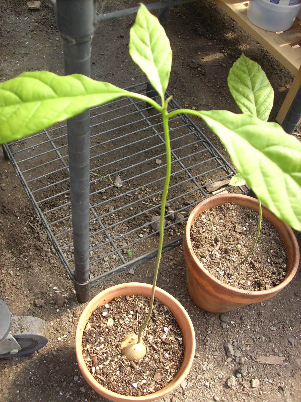Pancho Avocado Tree http://thefreefarm.blogspot.com/2011/03/spring-forward-world-will-need-more.html