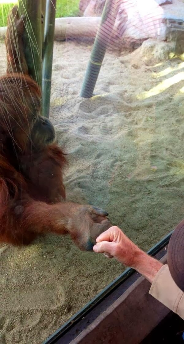 Funny animals of the week - 28 February 2014 (40 pics), orangutan gives fist bump