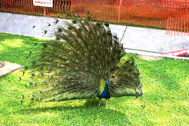 Sentosa peacock