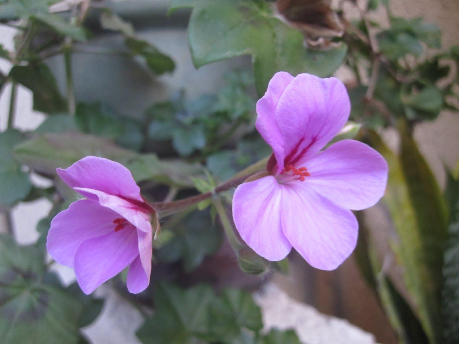Urban garden deck geraniums and war - Care geraniums flourishing balcony porch ...