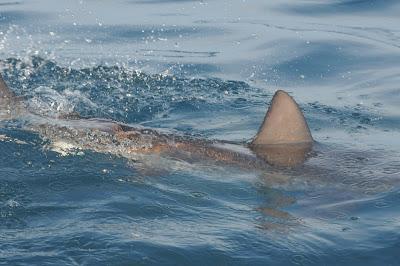 bronze whaler (Carcharhinus brachyurus)