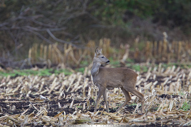 Female Roe Deer in Corn Field Capreolus capreolus