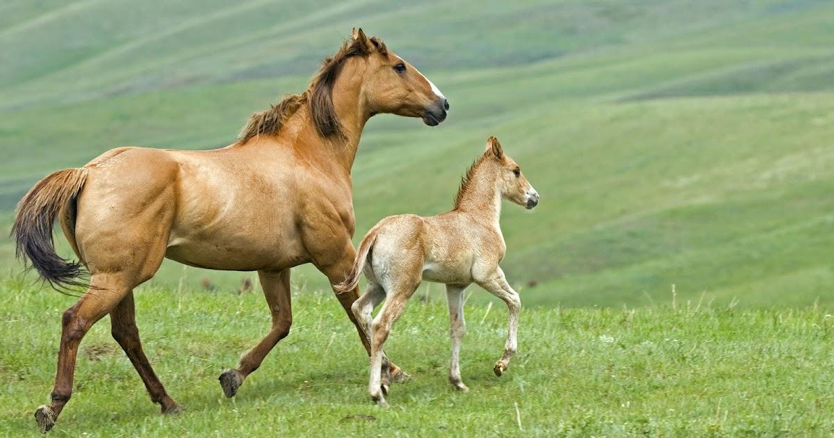 Bruin Paard Met Een Veulen Bureaublad Achtergronden