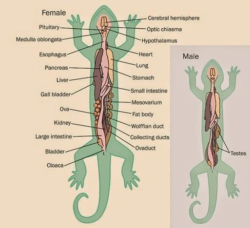 Increíble Anatomía Rana Interna Elaboración - Anatomía y Fisiología ...