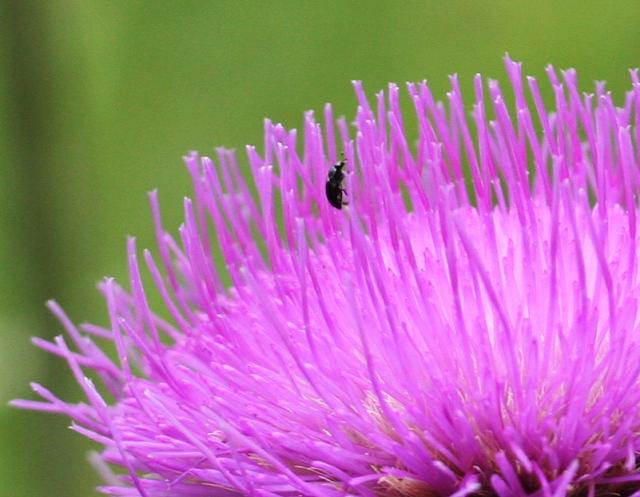 Verschiedenblättrige Kratzdistel, Alant-Distel mit Käfer