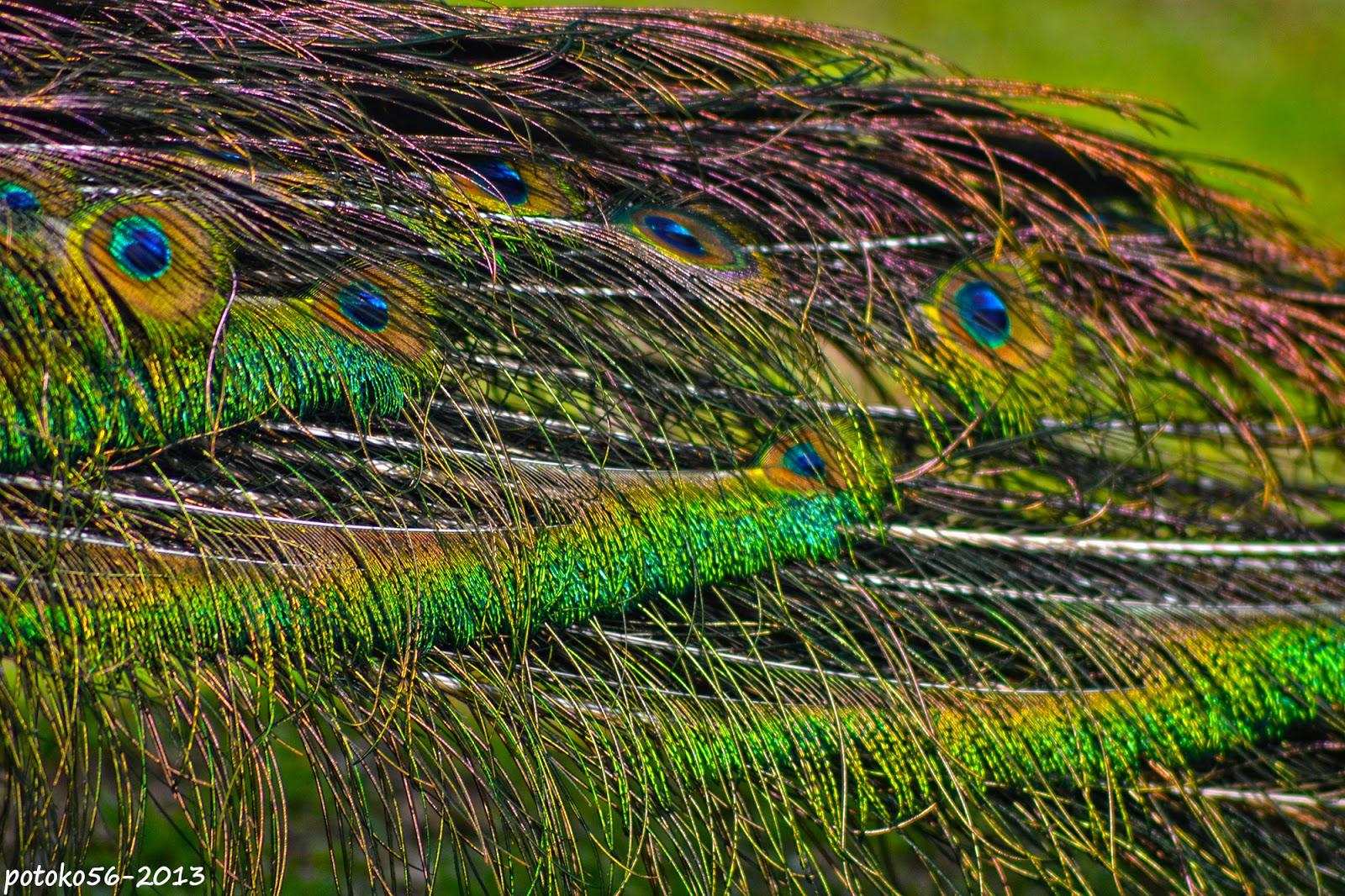 El Infinito de colores en el cuerpo del pavo real