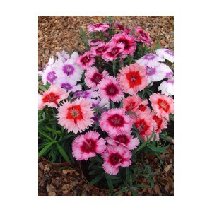 Dianthus Chabaud Picotee Double Mix