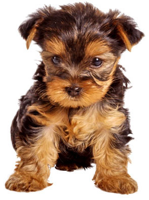 Yorkshire Terrier Dogs Breed Pets Cute And Docile