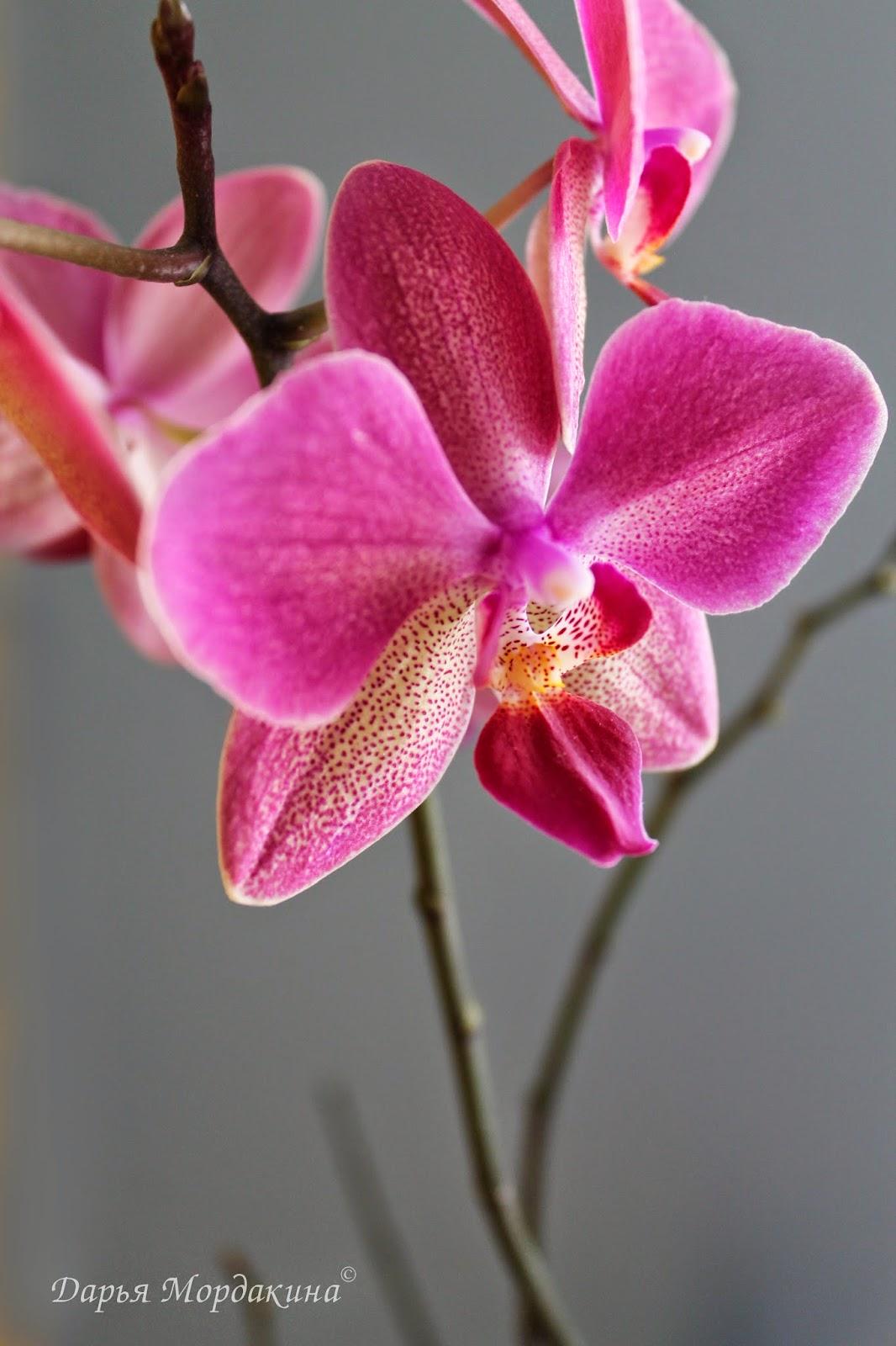 orhideja, orchid, орхидея, цветок, зима, фаленопсис, бабочка, бутон