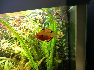 Hypseleotris compressa snacking on cat fish pellets