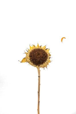 sunflower-moon-petal