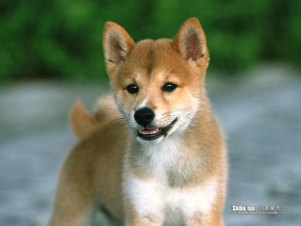 http://1.bp.blogspot.com/-0ZJBIdZcCv0/Tgxw4B26FSI/AAAAAAAAJ7E/fsUP-D5RLO8/s1600/Shiba_Inu_dog_wallpaper_EA39044.jpg