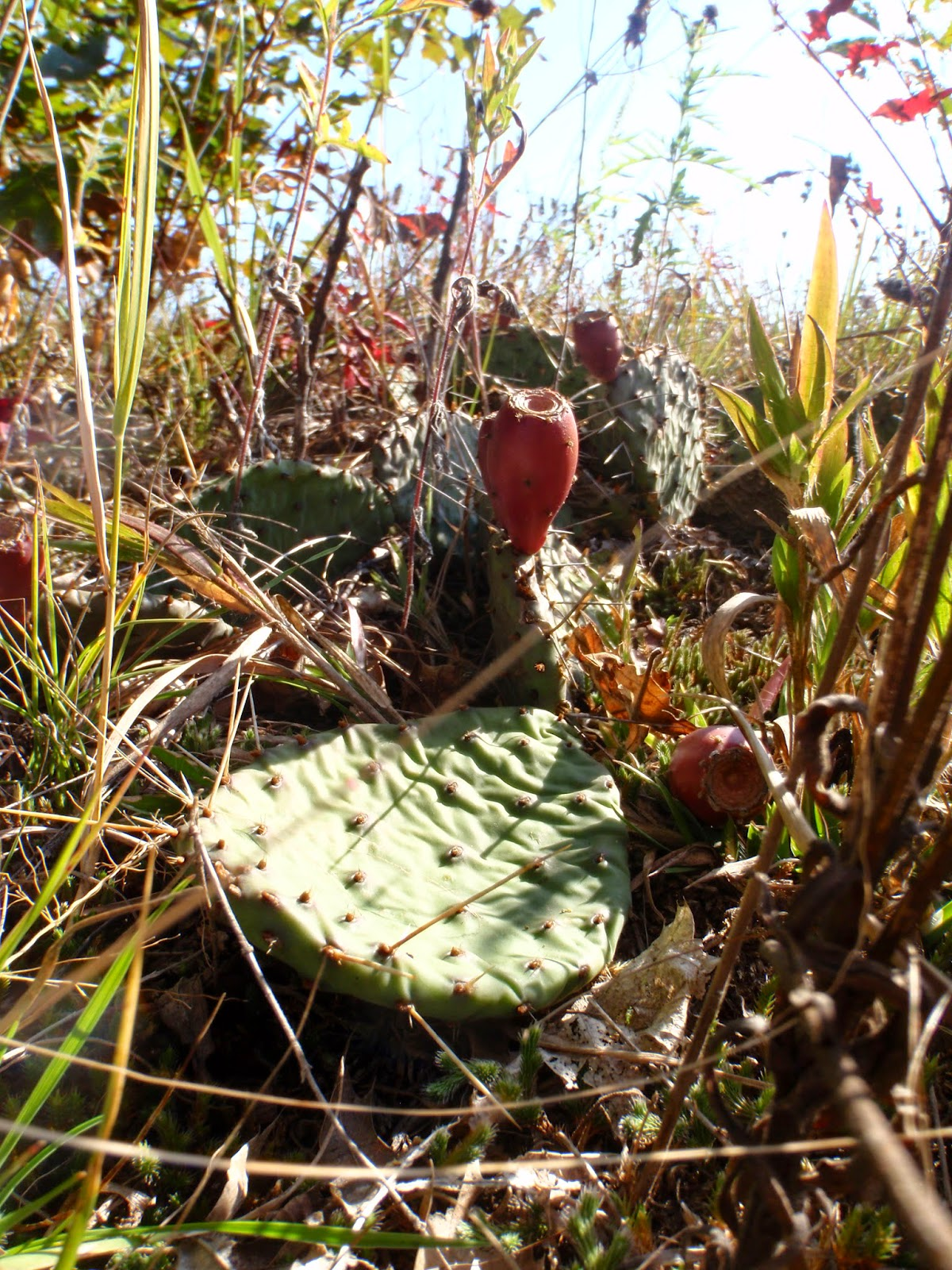 Prickly Pear Cactus at Spring Green Preserve