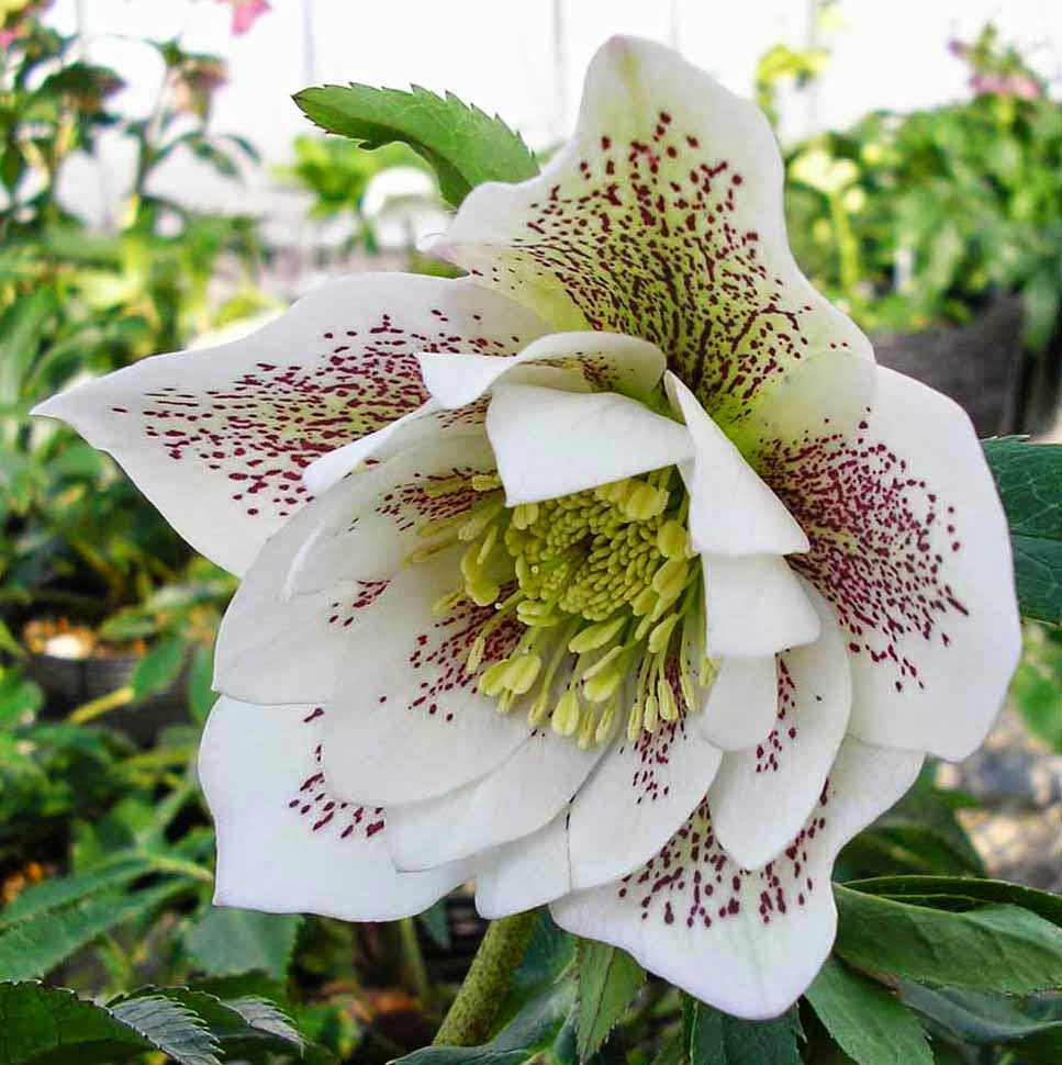 flower homes  hellebores flowers