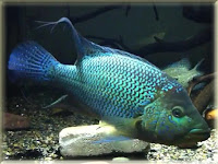 Umbee Cichlid Fish Pictures
