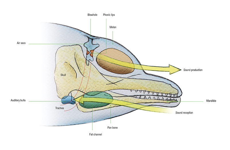 Blue whale anatomy