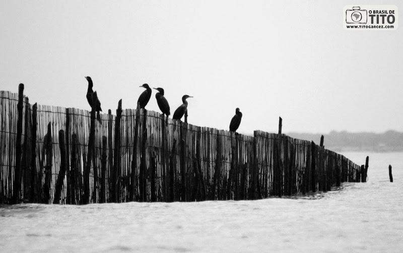 Concentração de Biguás ou Mergulhões (Phalacrocorax brasilianus), na ilha de Maiandeua (Algodoal), no Pará