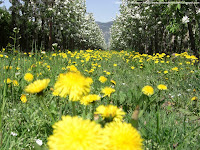 Fiori di melo e fiori selvattici