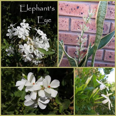 White Plumbago, Sansevieria, pelargonium, wild jasmine