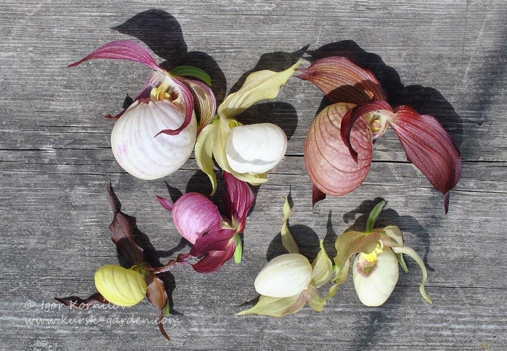 Цветки венериных башмачков