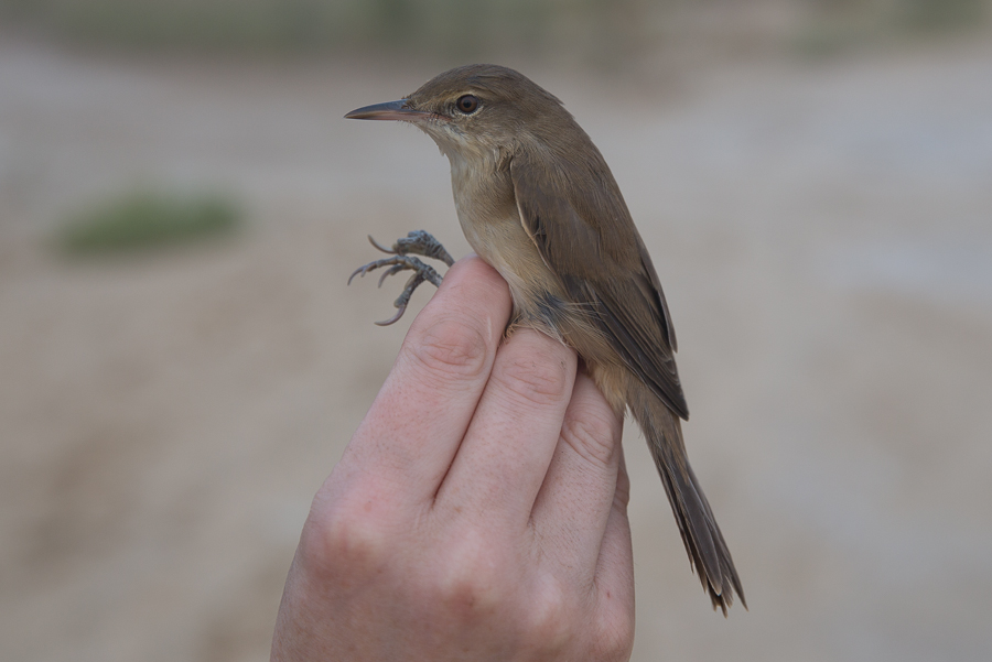 Indian Reed Warbler